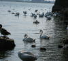 Lake Ontario Waterfront Swans