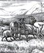 Minton Sheep - Mountain Sheep