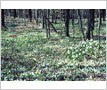 Trilliums, Lorne Park