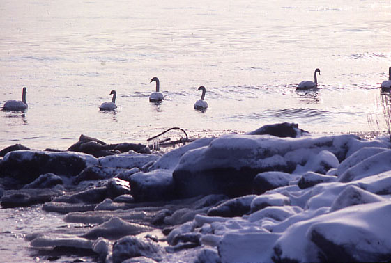 Canada Geese on Lake Ontario