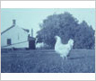 Carr Farm, Farm House and Pet Hen