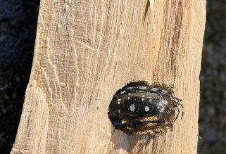 Asian longhorn beetle in the wood of a maple tree