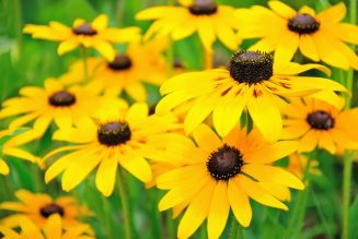 Yellow rudbeckia flowers in the garden, focus on flower in front