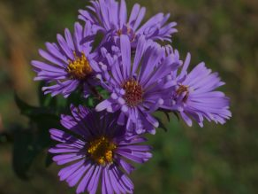 Close up of a group of purple New England Asters (Symphyotrichum nova-angliae)
