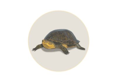 Turtle with bright yellow chin and round shell