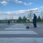 Animal Services staff guiding a helping a snapping turtle cross the road