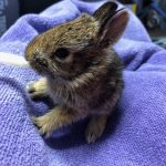 Orphaned cottontail rabbit