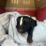 Orphaned baby skunk
