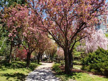 Cherry blossom trees at Kariya Park