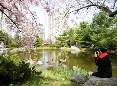 Man sitting looking at pond with cherry blossom trees