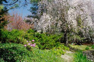 Kariya Park Cherry Blossom Tree in Mississauga